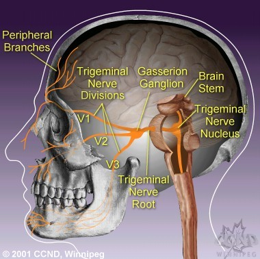 Your complete guide to trigeminal neuralgia a m kaufmann m diagram of the trigeminal nerve system ccuart Image collections